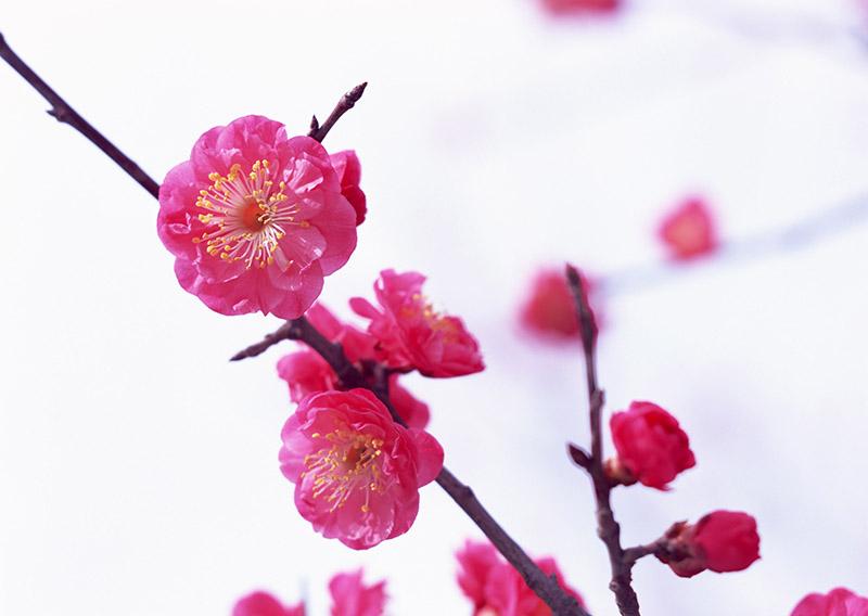 Hoa đào rất hữu dụng trong việc trị nám