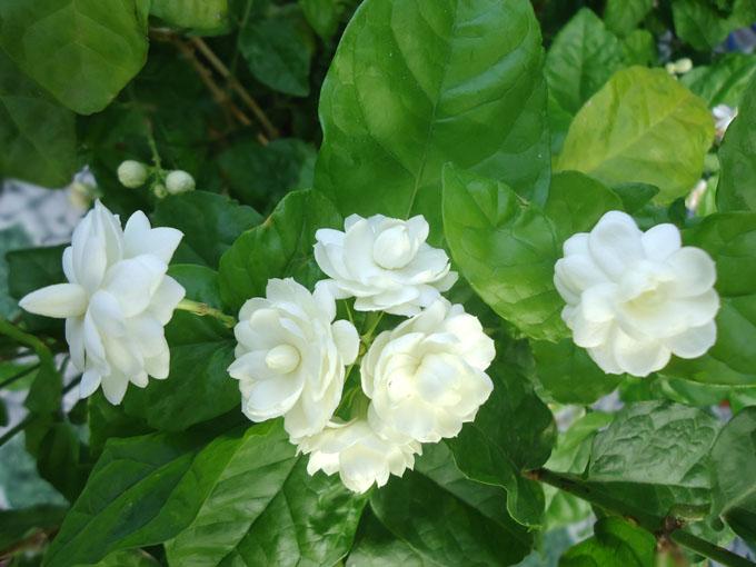 Sở dĩ hoa nhài có khả năng trị mụn nhọt là bởi nó có khả năng kháng khuẩn, tăng sức đề kháng cho cơ thể
