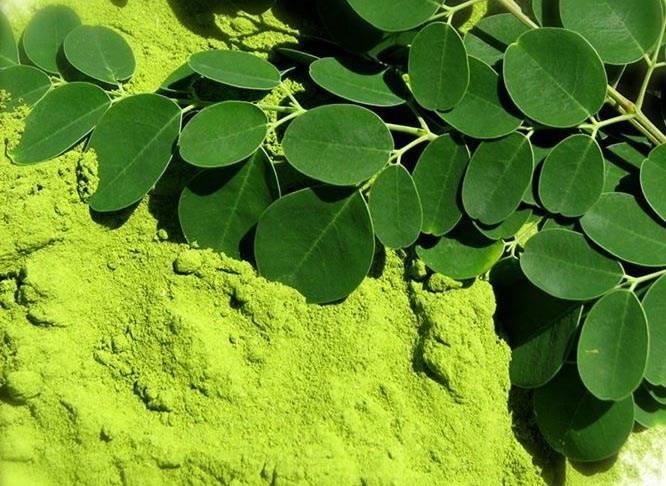 các bộ phận của cây chùm ngây có chứa rất nhiều khoáng chất quan trọng, giàu chất đạm, axít amin, vitamin