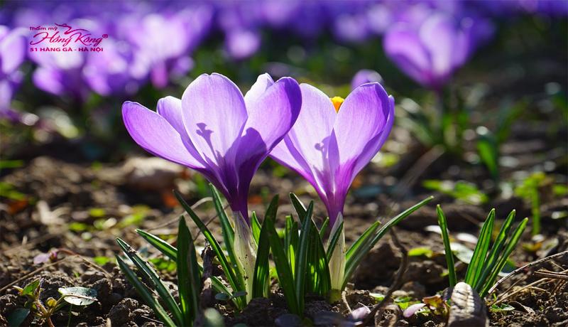 hoa-violet-co-kha-nang-tri-mun-va-vet-tham-mun-vo-cung-hieu-qua